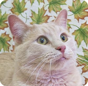 Domestic Longhair Cat for adoption in Buena Vista, Colorado - Chingy