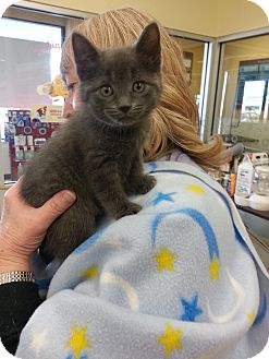 Russian Blue Kitten for adoption in Orland Park, Illinois - Cleaver