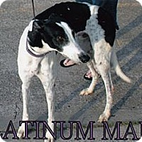 Adopt A Pet :: Platinum Man - Vidor, TX
