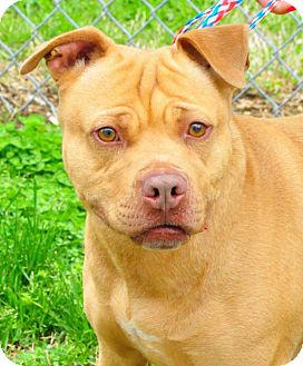Pit Bull Terrier Mix Dog for adoption in Colonial Heights, Virginia - Bam