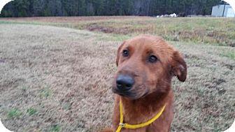 Collie/Shepherd (Unknown Type) Mix Dog for adoption in Manhasset, New York - Boomer
