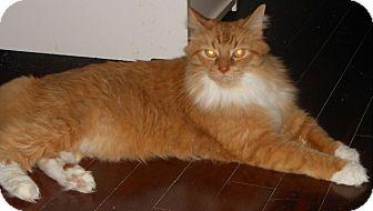Domestic Mediumhair Cat for adoption in Reston, Virginia - Cuddles