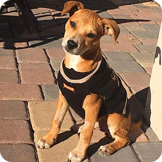 Labrador Retriever/Pit Bull Terrier Mix Puppy for adoption in Mesa, Arizona - Buffy