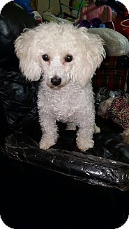 Poodle (Miniature) Mix Dog for adoption in Seattle, Washington - Mike