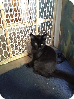Domestic Shorthair Kitten for adoption in Scottsdale, Arizona - Chili