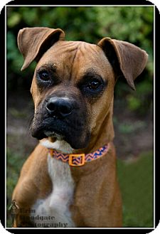 Boxer Mix Dog for adoption in Duart, Ontario - Rex