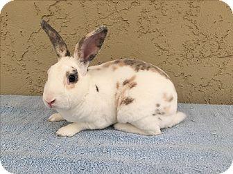 Mini Rex for adoption in Bonita, California - Rex