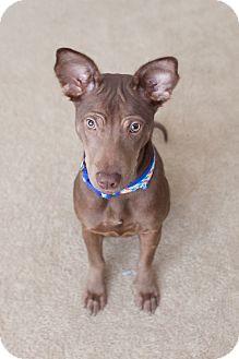 Basenji/Pharaoh Hound Mix Puppy for adoption in Seattle, Washington - Gia