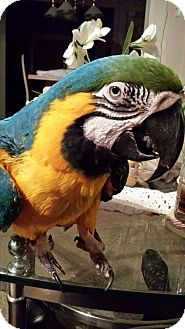 Macaw for adoption in Glens Falls, New York - Willy