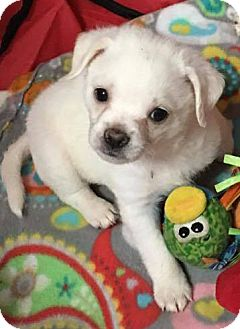 Maltese/Chihuahua Mix Dog for adoption in Spring, Texas - Winston