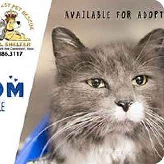 Domestic Longhair Cat for adoption in Davenport, Iowa - Tom