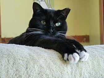 Domestic Shorthair Cat for adoption in Penndel, Pennsylvania - Q-tip