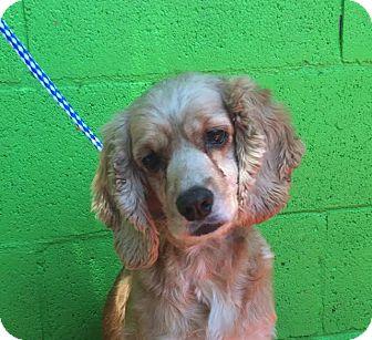 Cocker Spaniel Mix Dog for adoption in Corona, California - MIA