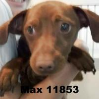 Miniature Pinscher/Jack Russell Terrier Mix Dog for adoption in Manassas, Virginia - Max