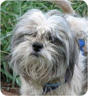 Shih Tzu Dog for adoption in EASLEY, South Carolina - PEANUT
