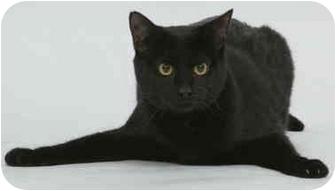Domestic Shorthair Cat for adoption in Cincinnati, Ohio - patent leather EBONY