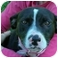 Photo 3 - American Staffordshire Terrier/Border Collie Mix Dog for adoption in Sacramento, California - Allie