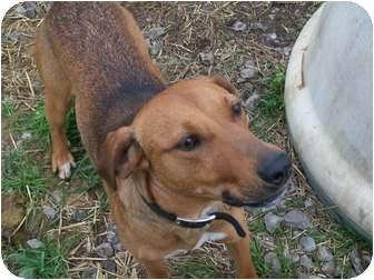 Redbone Coonhound Mix Dog for adoption in Harrisburgh, Pennsylvania - Puddy