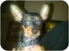 Miniature Pinscher Mix Puppy for adoption in Scottsdale, Arizona - Bizzy