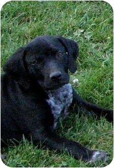 Bluetick Coonhound/Labrador Retriever Mix Puppy for adoption in Colville, Washington - Allie