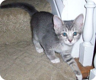 Domestic Shorthair Kitten for adoption in New Richmond, Ohio - Jerry