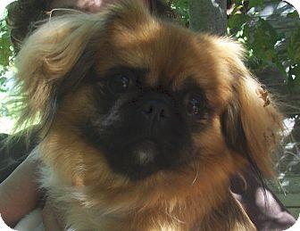Pekingese Dog for adoption in Fennville, Michigan - Gigi