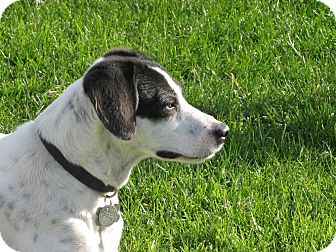 Pointer/Jack Russell Terrier Mix Dog for adoption in Scottsdale, Arizona - TINA