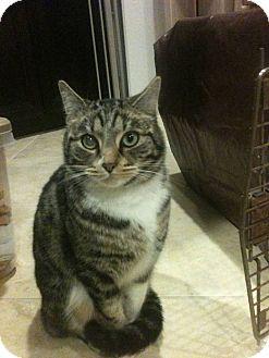 Domestic Mediumhair Cat for adoption in Temecula, California - Socks