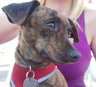 Dachshund Mix Dog for adoption in Phoenix, Arizona - Isaac