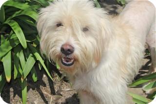 Wheaten Terrier Mix Dog for adoption in Norwalk, Connecticut - Dottie