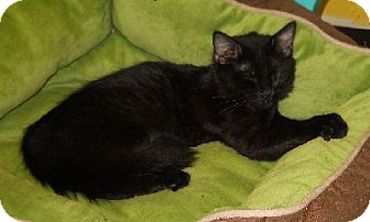 Domestic Mediumhair Kitten for adoption in Mobile, Alabama - Guiness
