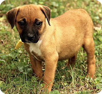 Boxer Mix Puppy for adoption in Allentown, Pennsylvania - Mia