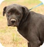 Boxer/Shar Pei Mix Dog for adoption in Washington, D.C. - Pugzy