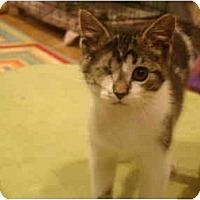 Adopt A Pet :: Pounce--PETSMART - Muncie, IN
