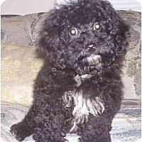 Adopt A Pet :: Tootsie - Evansville, IN