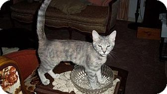 Domestic Shorthair Cat for adoption in Fort Pierce, Florida - Maddie