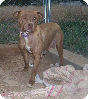 American Staffordshire Terrier Mix Dog for adoption in Questa, New Mexico - Princess