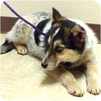 Cattle Dog/Siberian Husky Mix Dog for adoption in Various Locations, Indiana - Nelsea