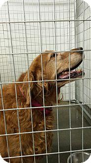 Golden Retriever Mix Dog for adoption in Sauk Rapids, Minnesota - Stella