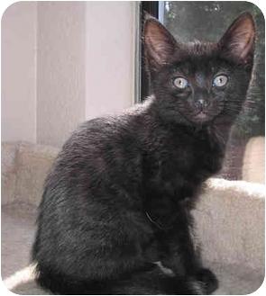 Domestic Shorthair Kitten for adoption in Sacramento, California - Madeline