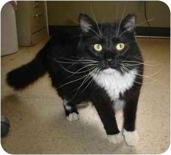 Domestic Longhair Cat for adoption in Menomonie, Wisconsin - Alan