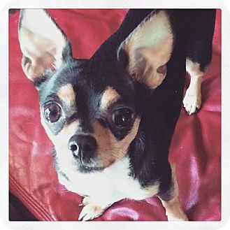 Chihuahua Dog for adoption in Carrollton, Georgia - Zuri