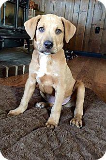 Labrador Retriever/Border Collie Mix Puppy for adoption in New Oxford, Pennsylvania - Lilah