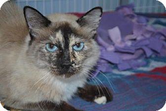 Domestic Longhair Cat for adoption in Edwardsville, Illinois - Sabrina