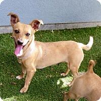 Adopt A Pet :: Adele - Surrey, BC