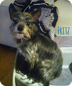 Chihuahua/Yorkie, Yorkshire Terrier Mix Dog for adoption in House Springs, Missouri - Fritz