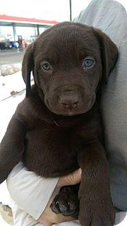 Labrador Retriever Puppy for adoption in Ogden, Utah - Sarsaparilla