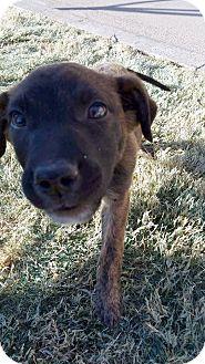 Pit Bull Terrier/Basset Hound Mix Puppy for adoption in Wichita Falls, Texas - Duke