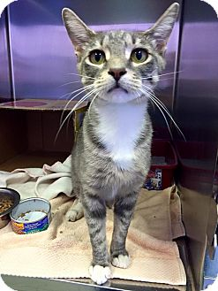 Domestic Shorthair Cat for adoption in Schererville, Indiana - Plum