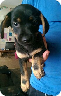 Jack Russell Terrier/Dachshund Mix Puppy for adoption in Hammonton, New Jersey - Jackie
